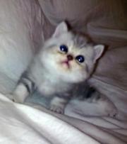 Продаются персидские котята и экзоты