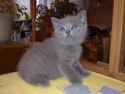 Британские котята голубые